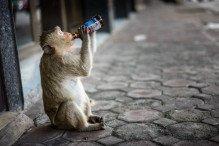 Singe alcoolique Lopburi