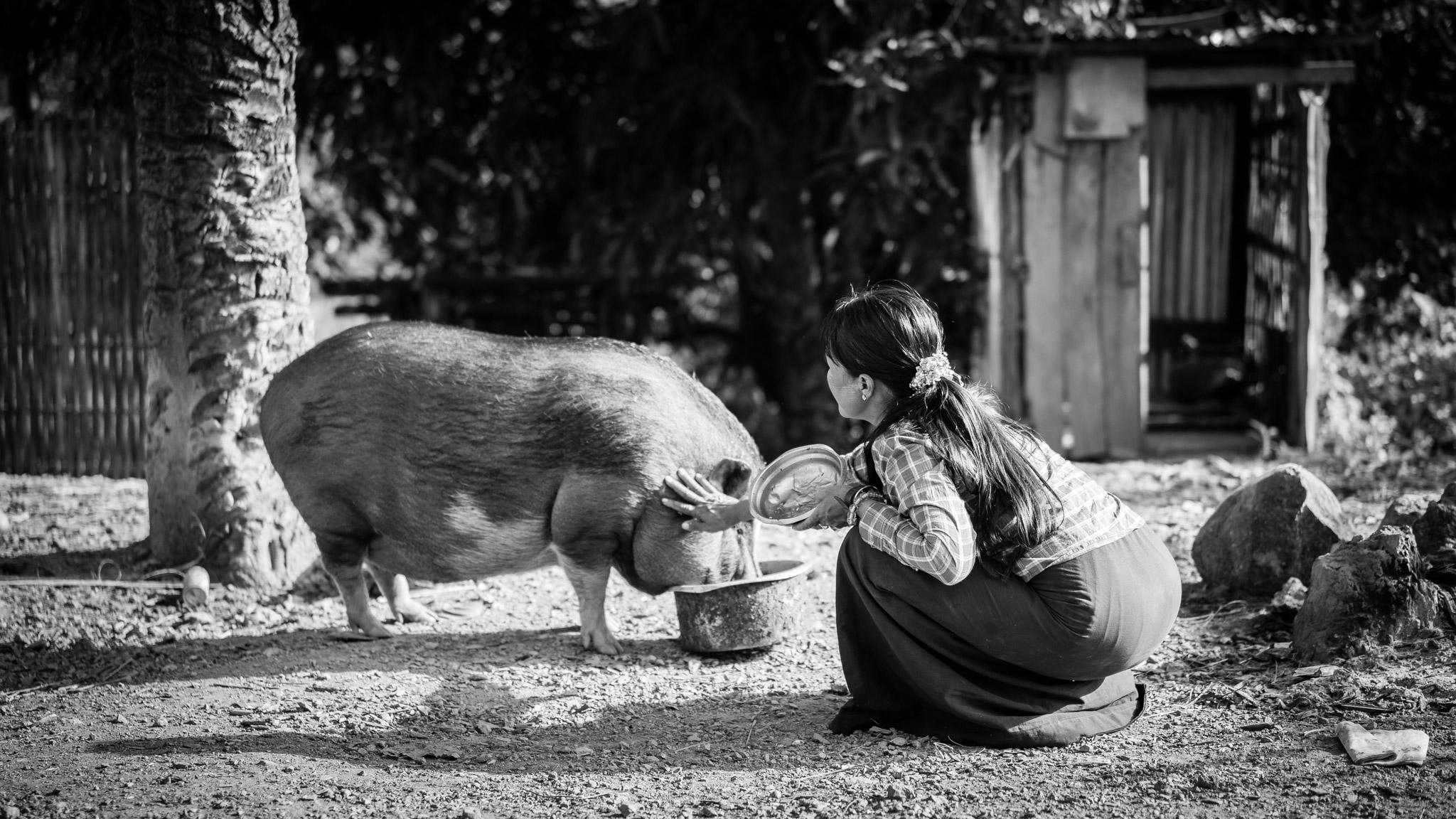 Femme nourissant un cochon