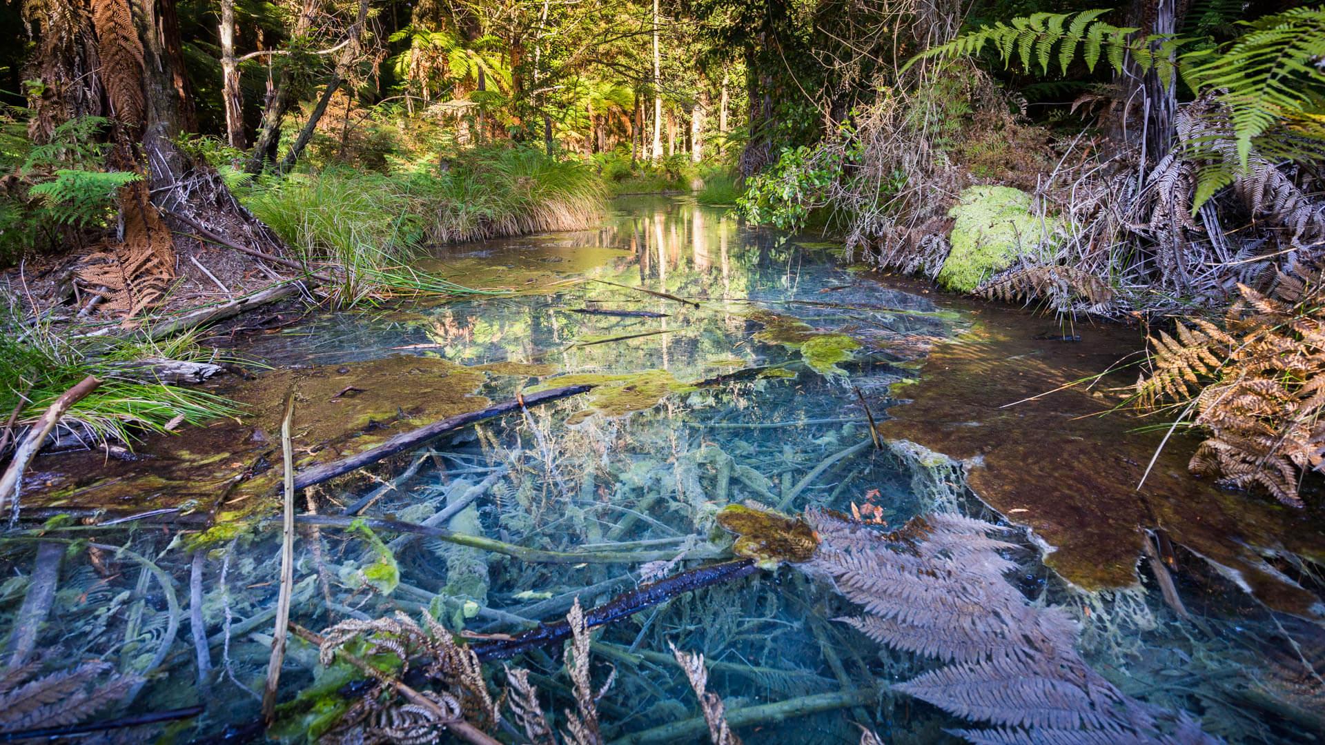 Ruisseau bleu, Redwood, Rotorua