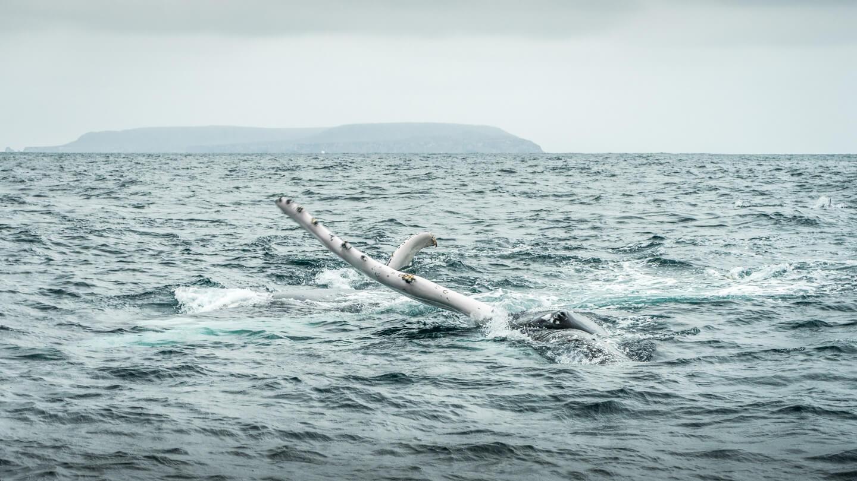 Baleine à Puerto Lopez