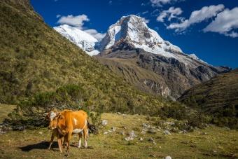Vache et montagne enneigée