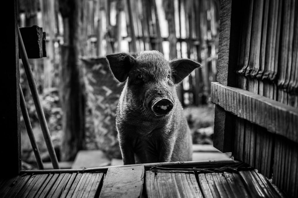 Cochon dans la maison