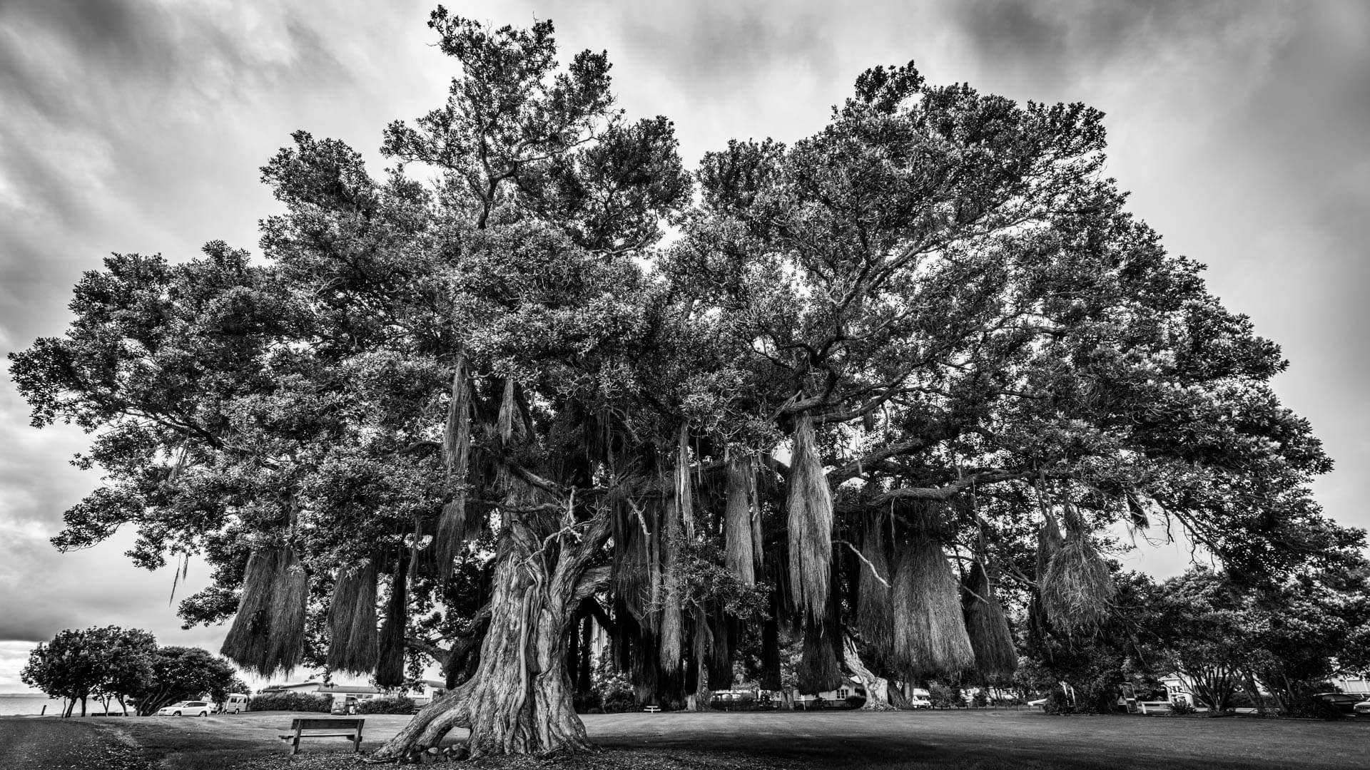 Coromandel arbre