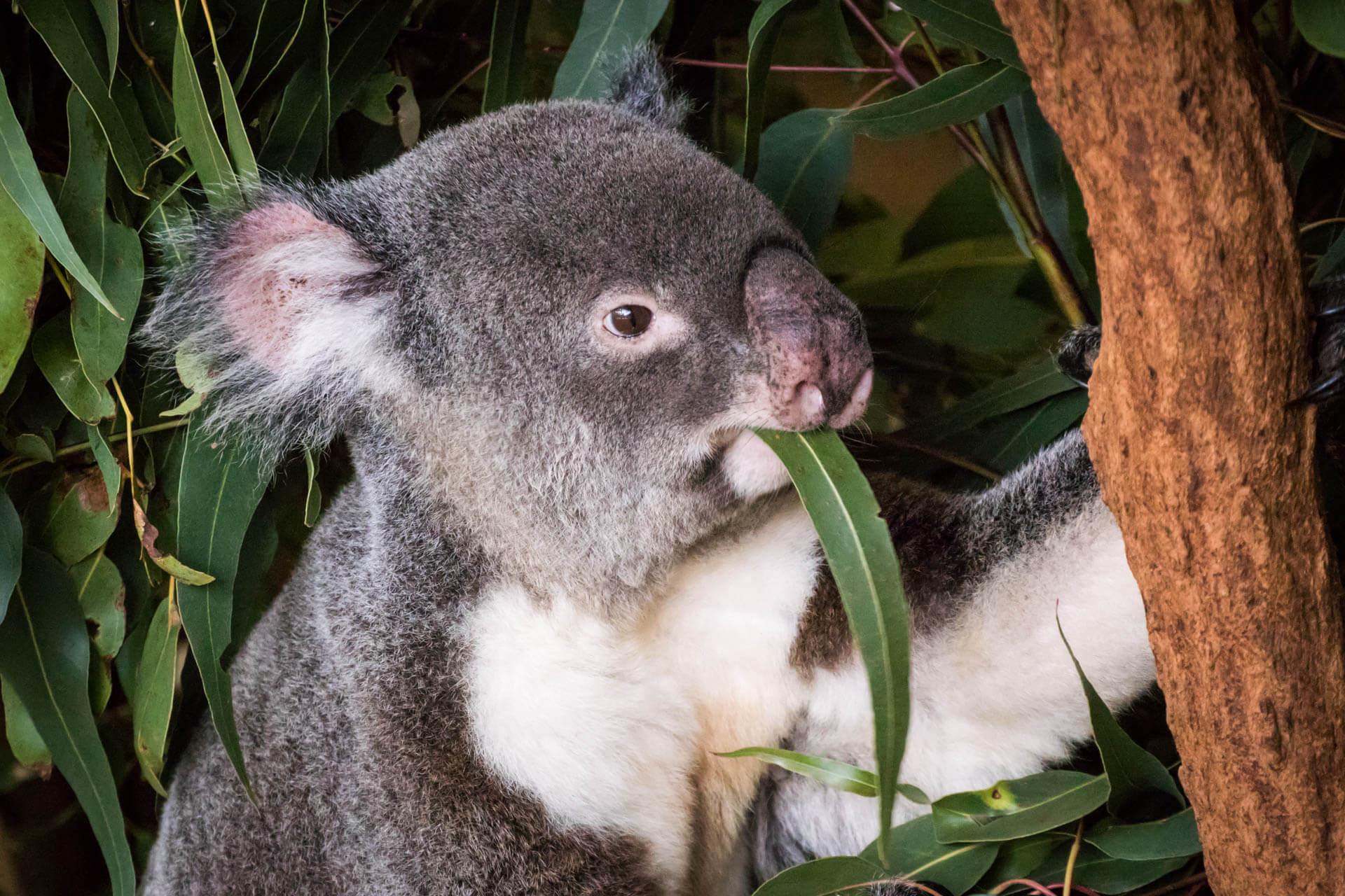 Koala Brisbane