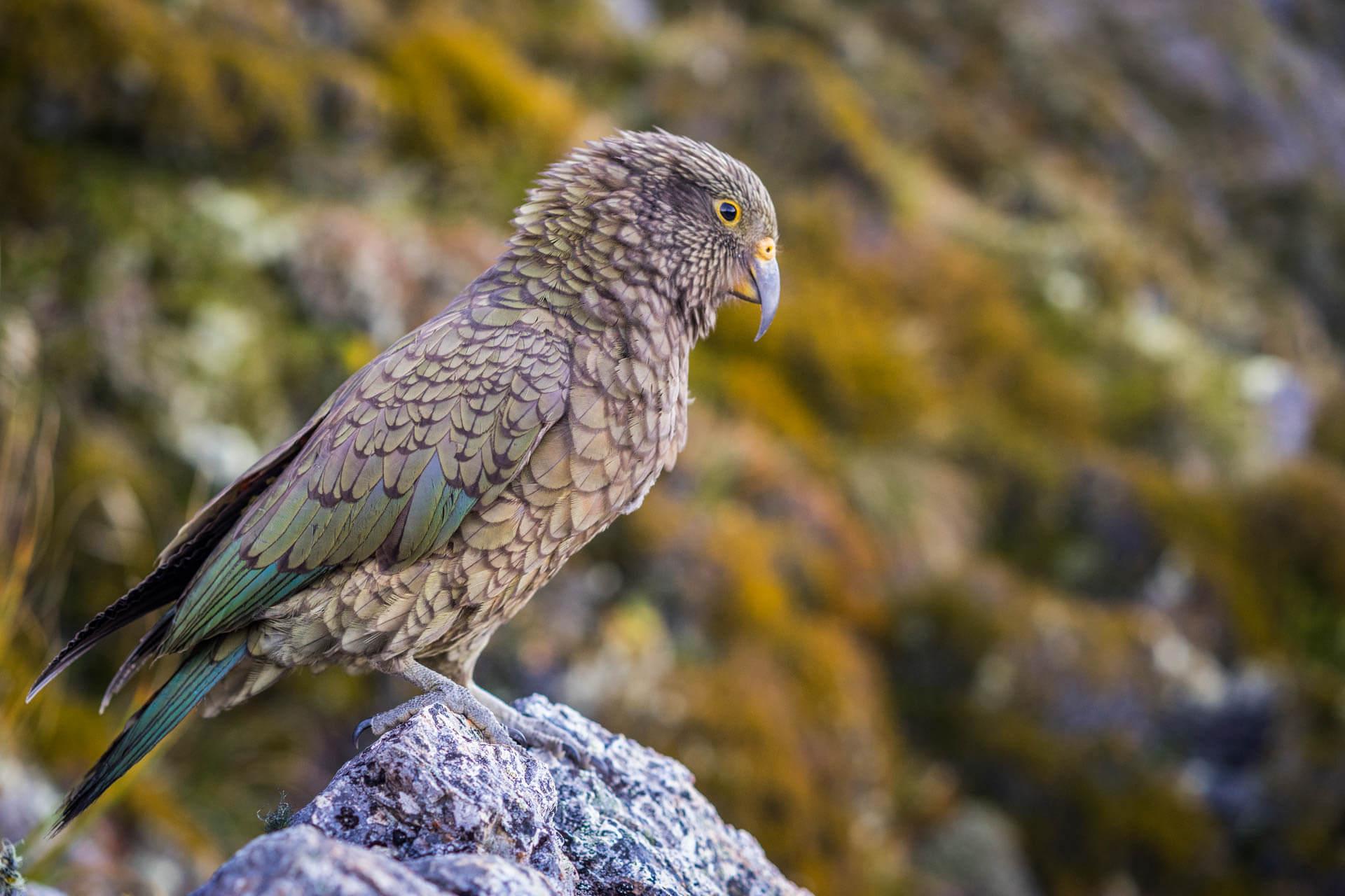 Oiseau Nouvelle-Zélande