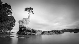 Arbre solitaire, Tinline Bay, Abel Tasman Costal Track