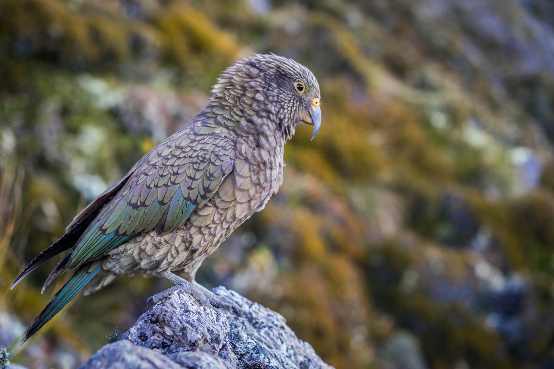 Oiseau perroquet, Nestor Kéa
