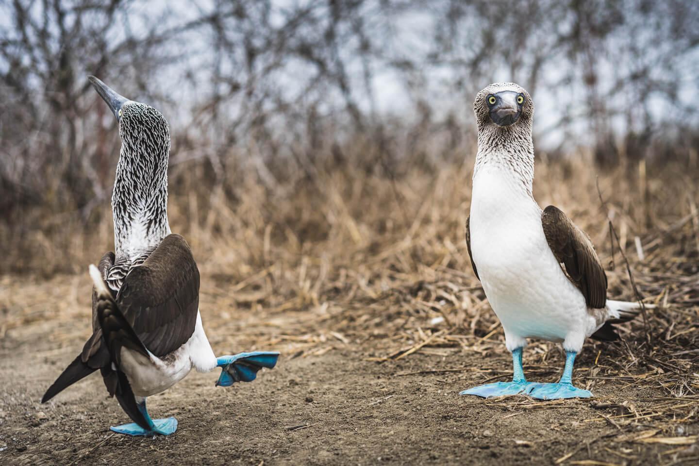 Fous à pattes bleues Isla de la Plata