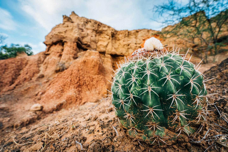 Cactus du désert de tatacoa